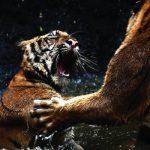 blog_tigers